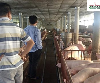 GREENFEED animal feed: A factor to improve the efficiency of livestock breeders in Ha Tinh